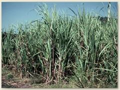 15 Der Zucker ist eine der wichtigsten ökonomischen Säulen des Landes
