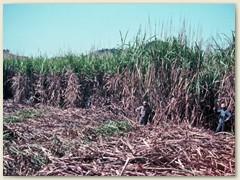 17 - Machetero - nennt man die Zuckerrohrschneider, die noch von Hand mit der Machete zu Werke gehen.
