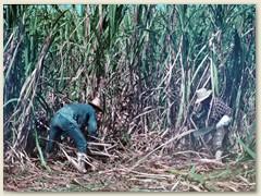 18 Die Zuckerrohrschneider leben in den Siedlungen ehemaliger Sklaven und das Gehalt reicht kaum zum Überleben