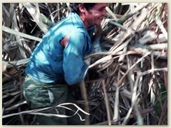 22 Die Arbeit in der sengenden Hitze auf den Feldern und in den Zuckermühlen ist sehr anstrengend. Eine Schufterei