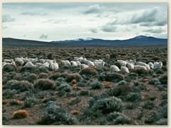 08 Schafzucht, Hauptbewirtschaftung im rauhen Patagonien