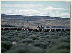 09 Eine grosse Rinderherde