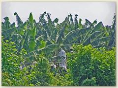 37 Viele Bananenbäume