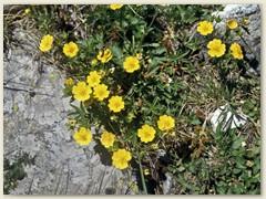 12 Flora am Wegrand, Sonnenröschen