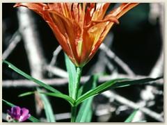 30 Feuerlilie