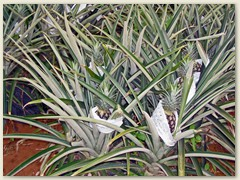 34_Ananas, ein wichtiges Exportobst