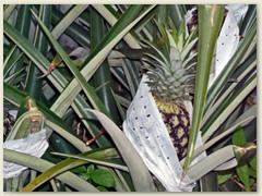 35_Im feuchtwarmen Tiefland wachsen die Ananas bei rund 26° C.