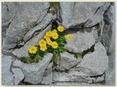 26_Zwischen all dem Geröll und Gestein blüht die Alpenflora