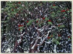 63 Wir durchstreifen einen Rhododendron Mischwald