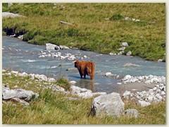 12_Viel Mäh und viel Muh - Die Tiere stammen von Bauern aus der Region Ilanz. Eine schottische Hochlandkuh