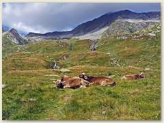 25_Eine Viehherde auf der Alp Rondadura 2216 m