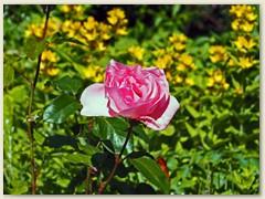 06_Juni 2018 - Rosa für Schönheit, Respekt, Dankbarkeit
