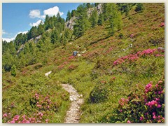 81_Die Rostblättrige Alpenrose, auch Rostrote Alpenrose oder Rostroter Almrausch genannt