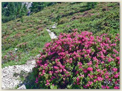 82_Alpenrosen auf dem Dolomiten Wanderweg