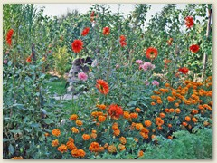 09r Tagetes, auch Studentenblume genannt und Dahlien
