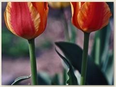 18r Tulpen