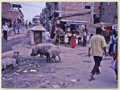 36 Glückliche freilaufende Schweine