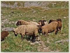 06 Einzelne Schafe grüssen uns