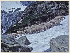 23 Eine Schafherde bei Chli Sustli