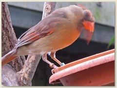 36_Roter Kardinal