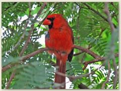 37_Roter Kardinal