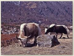 25 Der Hausyak ist in grosser Zahl im Himalaya, in der Mongolei und sogar im Süden von Sibirien verbreitet und ist die Lebensgrundlage der lebenden Menschen. Er liefert Milch, Fleisch, Leder, Haar und Wolle