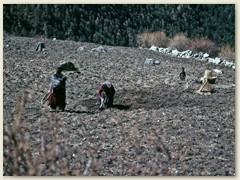55 Frauen bei der Feldarbeit