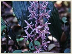 60 Eine Orchideenart