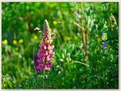 19 Wilde Lupinen, auch eine Futterpflanze