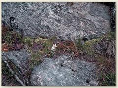 09 Am Wegrand ein Edelweiss im Felsenkessel bei Garzonera
